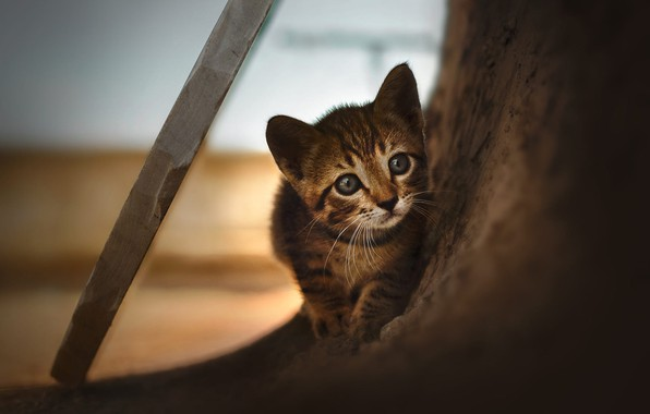 Картинка кошка, взгляд, котенок, серый, фон, дерево, малыш, доска, котёнок, мордашка, полосатый, палка