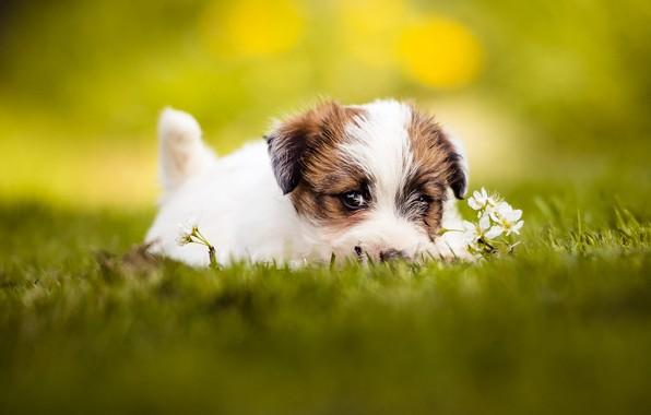 Картинка лето, трава, взгляд, морда, желтый, поза, фон, поляна, портрет, глазки, собака, малыш, щенок, лежит, цветочки, …