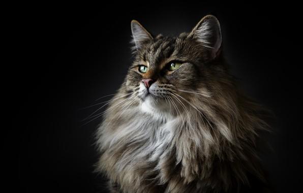 Картинка кот, cat, maine coon, мейн кун, Alexandre Marques