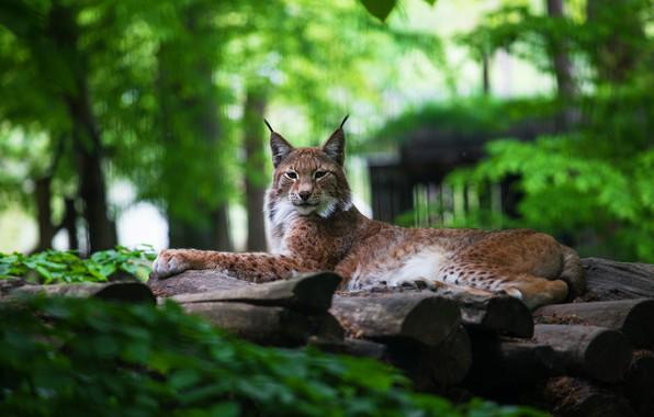 Картинка зелень, лето, взгляд, морда, поза, зеленый, фон, листва, лапы, бревна, красавица, лежит, рысь, дикая кошка, …