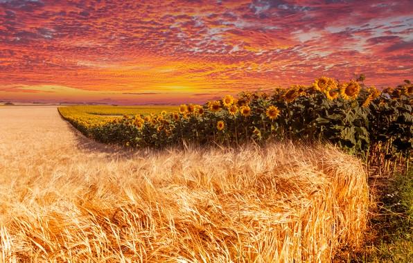 Картинка поле, лето, небо, облака, линии, подсолнухи, закат, цветы, рожь, обработка, даль, горизонт, колосья, злаки, подсолнечник, …