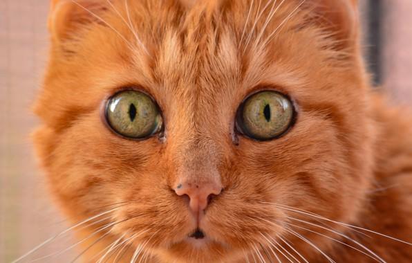 Картинка кот, взгляд, рыжий, мордочка, котэ, глазища, котейка