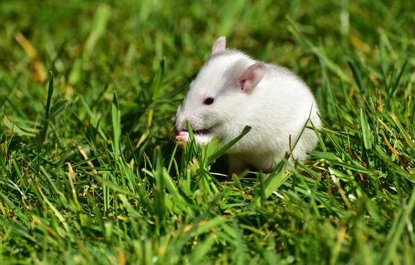 Картинка зелень, лето, трава, поза, фон, поляна, мышь, мышка, мордочка, белая, сидит, крыса, грызун, мышонок, крысёныш