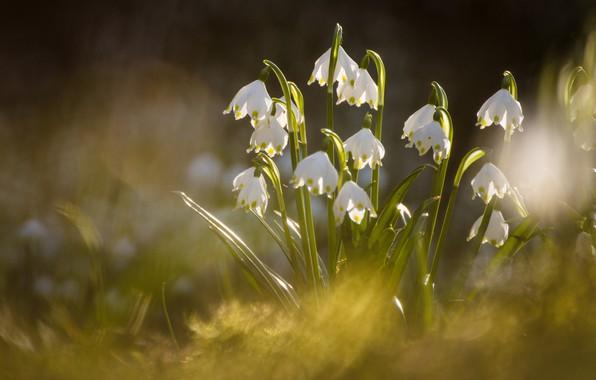 Картинка весна, боке, Белоцветник