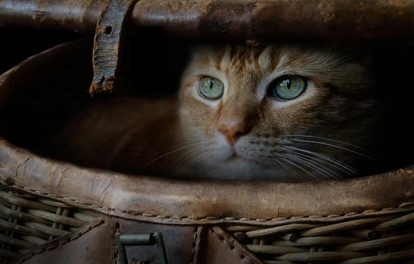 Картинка кошка, кот, взгляд, корзина, рыжий, мордочка, котейка