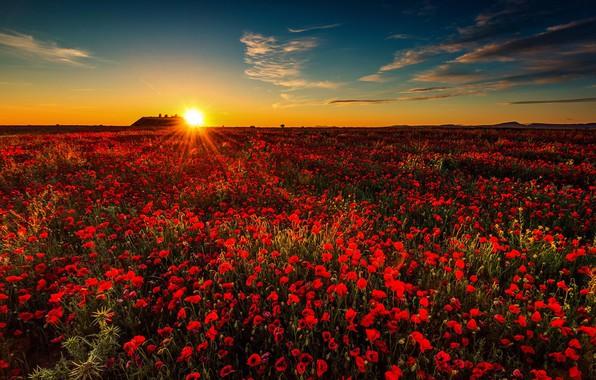 Картинка поле, закат, маки