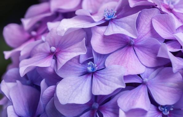 Картинка макро, цветы, лепестки, много, сиреневые, гортензия