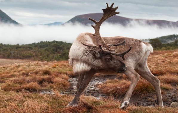 Картинка природа, поза, олень, рога, северный