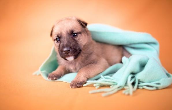 Картинка взгляд, оранжевый, фон, собака, размытие, маленький, шарф, малыш, щенок, лежит, мордашка, коричневый