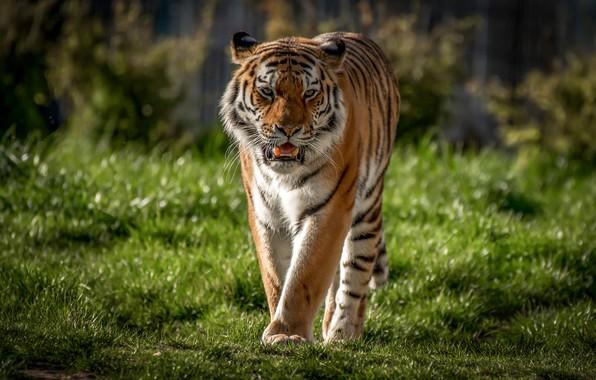 Картинка трава, тигр, хищник, дикая кошка