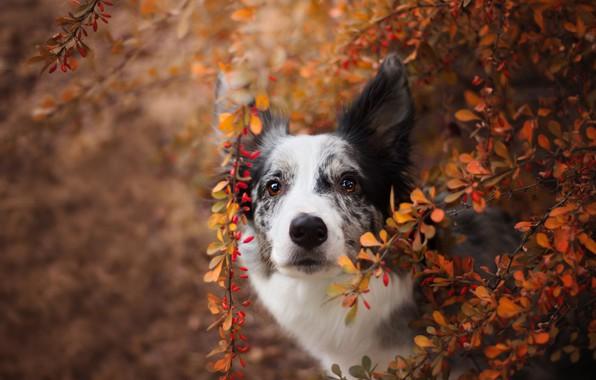 Картинка осень, взгляд, морда, листья, ветки, природа, фон, листва, черно-белая, портрет, собака, бордер-колли, пятнистая, пестрая