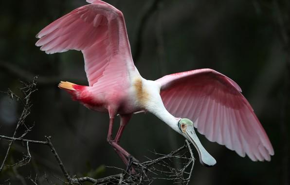 Картинка ветки, природа, птица, розовая, крылья, перья, клюв, боке, Roseate Spoonbill