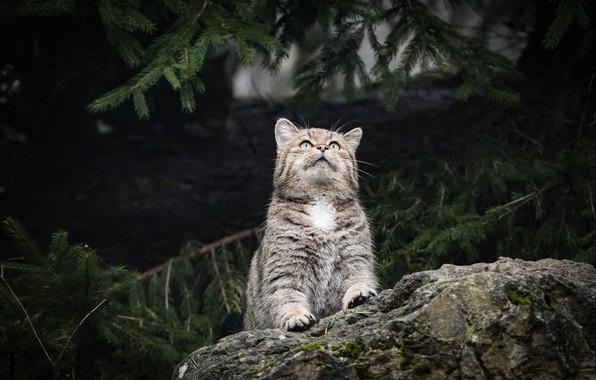 Картинка лес, кошка, кот, взгляд, морда, ветки, природа, поза, темный фон, серый, камень, хвоя, полосатый, дикий, …