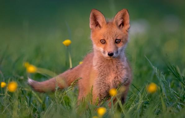 Картинка трава, взгляд, рыжий, детёныш, боке, лисёнок