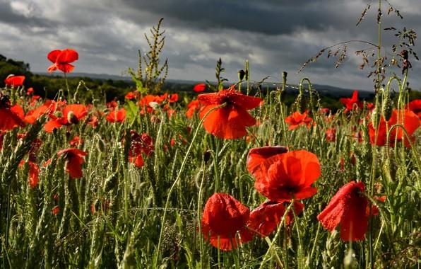 Картинка поле, лето, небо, облака, капли, свет, пейзаж, цветы, тучи, природа, маки, после дождя, красные, грозовые, …