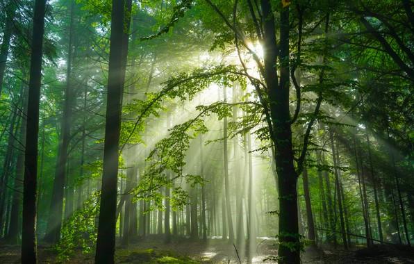 Картинка лес, деревья, Германия, солнечный свет