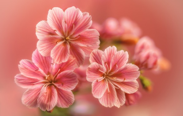 Картинка цветы, flowers, боке