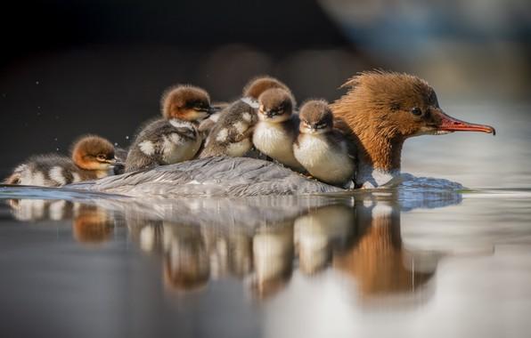 Картинка природа, озеро, утки