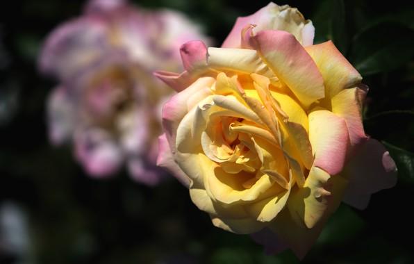 Картинка капли, свет, цветы, темный фон, роза, розы, оранжевая, сад, желтая, пышная