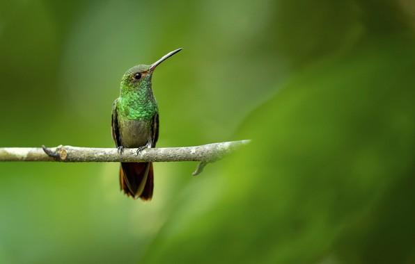 Картинка фон, птица, ветка, колибри