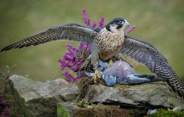 Картинка взгляд, цветы, поза, камни, фон, птица, голубь, мох, крылья, хищник, сокол, охотник, ястреб, хищная, добыча, …