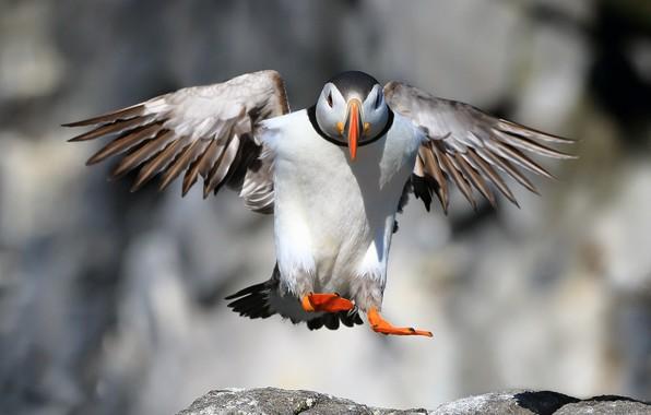 Картинка птица, Puffin, Landing