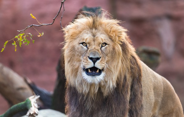 Картинка взгляд, морда, лев, грива, царь зверей, дикая кошка