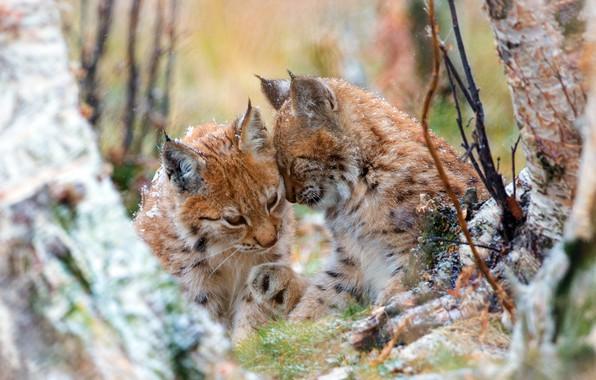 Картинка осень, лес, деревья, кошки, ветки, природа, две, ласка, рысь, парочка, рыси, дикие, рысята