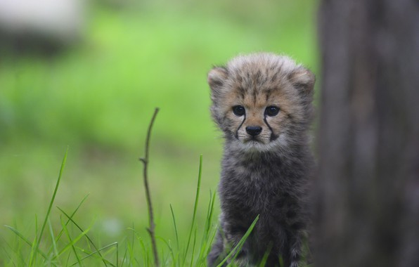 Картинка трава, взгляд, котенок, дерево, малыш, мордочка, гепард, детеныш, зелены фон