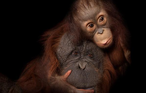 Картинка hairs, heads, apes, horangunan