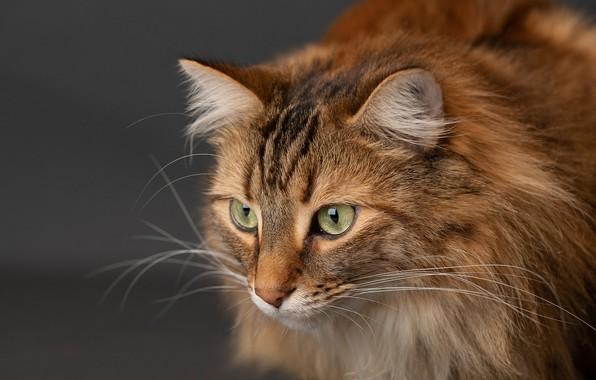 Картинка кошка, кот, взгляд, фон, мордочка, котейка