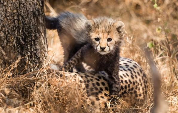 Картинка трава, взгляд, свет, природа, поза, котенок, фон, дерево, лапы, малыш, гепард, котёнок, мордашка, детеныш, дикая …