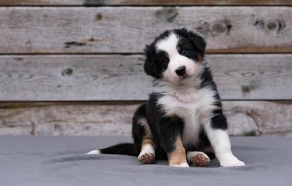Картинка взгляд, поза, фон, черно-белый, доски, собака, малыш, милый, щенок, сидит