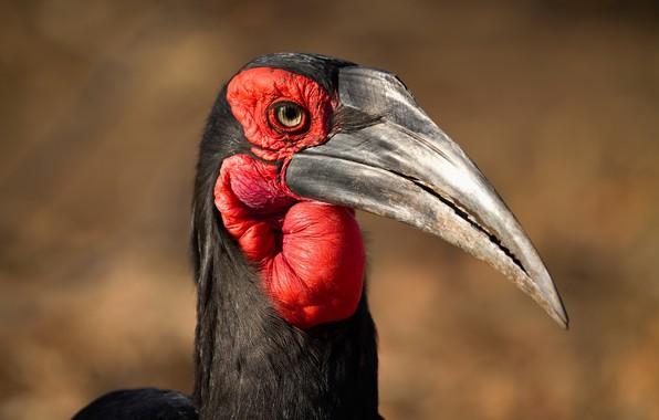 Картинка природа, птица, Кафрский рогатый ворон
