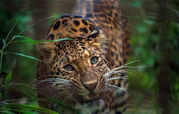 Картинка зелень, трава, взгляд, морда, Леопард, дикая кошка