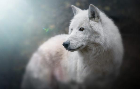 Картинка белый, взгляд, морда, свет, фон, голубой, волк, портрет, красавец, боке, размытый, арктический, полярный
