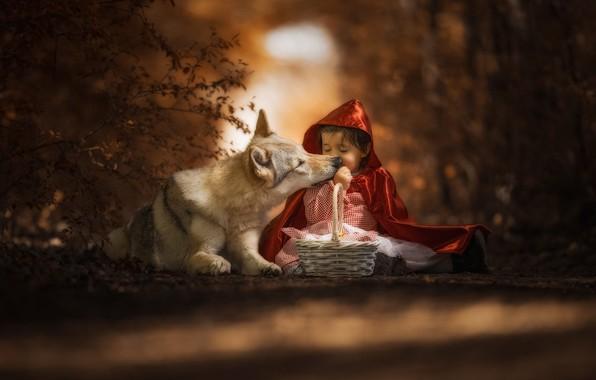 Картинка лес, морда, свет, красный, поза, темный фон, серый, настроение, корзина, волк, ребенок, ситуация, собака, дружба, …