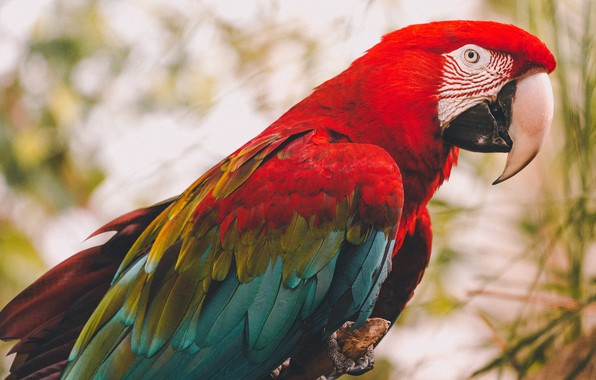 Картинка взгляд, ветки, красный, фон, птица, попугай, сук, боке, ара, яркое оперение