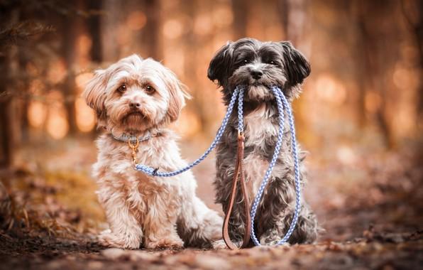 Картинка собаки, пара, поводок, боке, две собаки