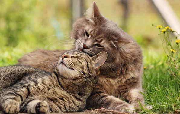 Картинка кошка, кот, любовь, котейки