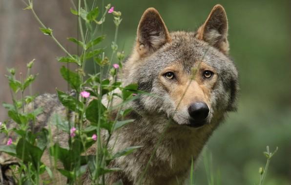 Картинка трава, взгляд, морда, волк, портрет, санитар леса
