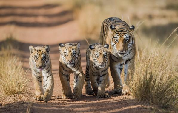 Картинка тигр, прогулка, тигры, тигрица, тигрята