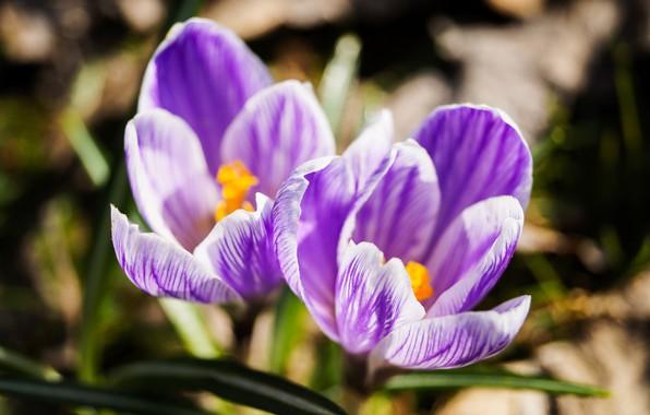 Картинка цветы, природа, весна, крокусы, сиреневые цветы, макро flowers природа