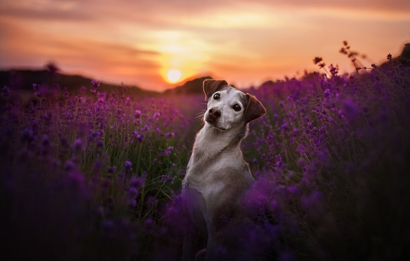 Картинка поле, взгляд, закат, цветы, собака, лаванда
