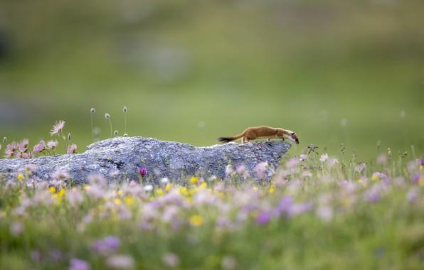 Картинка лето, цветы, фон, камень, весна, горностай