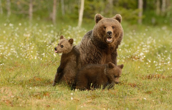 Картинка зелень, лес, лето, трава, взгляд, морда, природа, поза, поляна, медведь, медведи, три, медвежонок, медвежата, трио, …