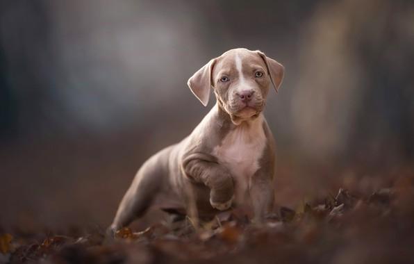 Картинка осень, взгляд, листья, природа, поза, серый, фон, настроение, листва, собака, лапы, малыш, щенок, мордашка, коричневый, ...