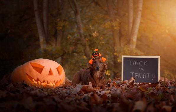 Картинка осень, взгляд, листья, свет, деревья, парк, буквы, праздник, надпись, листва, собака, шляпа, тыква, доска, шляпка, …