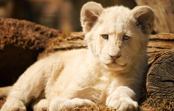 Картинка белый, взгляд, морда, поза, фон, портрет, лев, малыш, лежит, бревно, львенок, львёнок