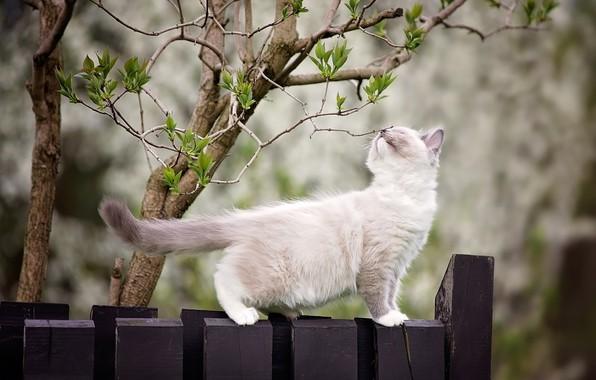 Картинка ветки, природа, дерево, животное, забор, весна, детёныш, котёнок, почки, рэгдолл, ragdoll, Monika Koc